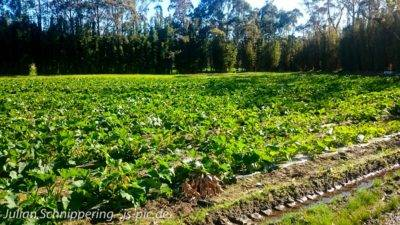 Zucchini Felder
