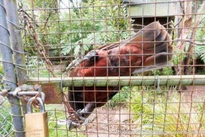Kaka über Kopf an einem Gitter hängend