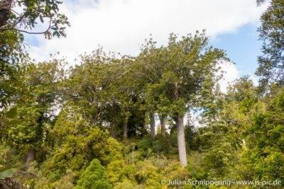 Kauri Bäume in normalem Wald in Coromandel