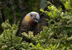 Kea Vogel im Wald