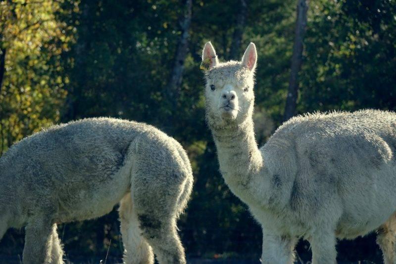 Alpakas auf meiner Wwoofing Farm