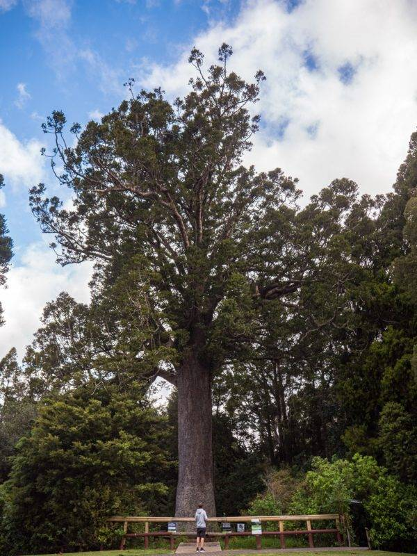 Der Kauri-Baum am Museum