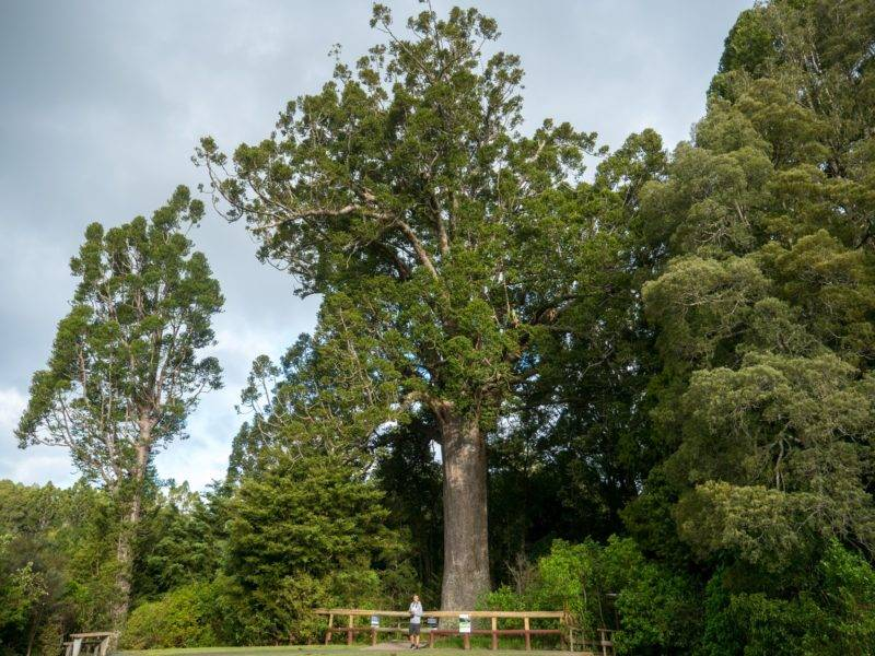 Kauri Baum oberhalb von Auckland