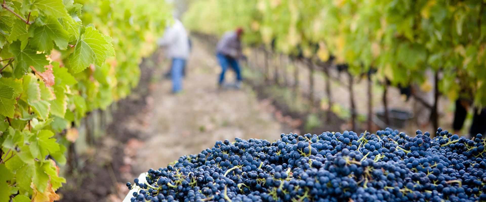 Mit dem SSE Visum kannst du auf einem Weingut arbeiten